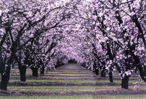 blossomtrail1_sm